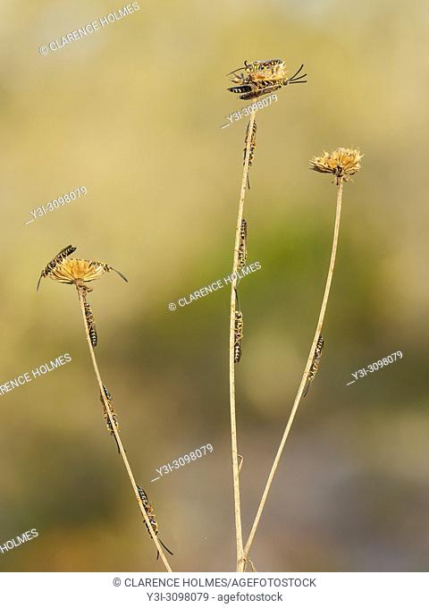 Male Thynnid Wasps (Myzinum maculatum) roost on coastal plain honeycombhead (Balduina angustifolia). Males congregate on vegetation during low temperatures of...