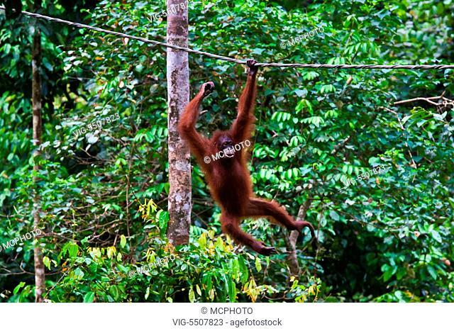 An orangutan (Pongo pygmaeus) at the Sepilok Orangutan Rehabilitation Center in the Kabili Sepilok Forest near Sandakan - MALAYSIA, BORNEO - , 03/04/2014