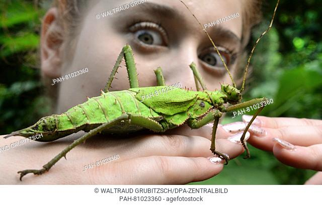 A picture dated 6 June 2016 shows a malaysian spiny leaf insect sitting on the hand of a young visitor of the butterfly park in Alaris, Germany
