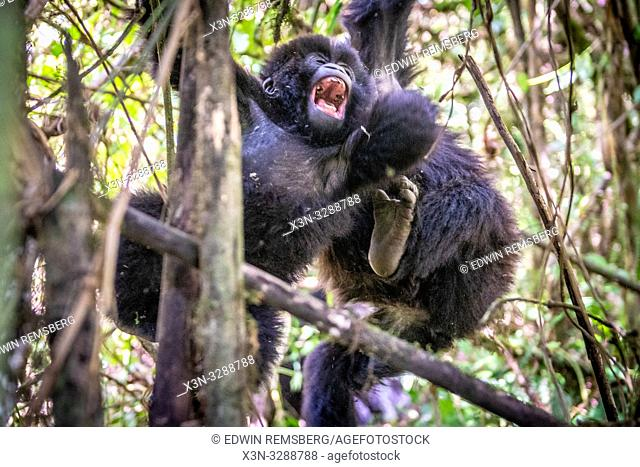 An adolescent Mountain Gorilla (Gorilla beringei beringei) of the Muhoza group, climbing and , in Volcanoes National Park, Virunga mountain range , Rwanda