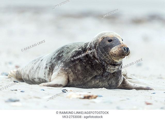Grey Seal, Halichoerus grypus, Europe