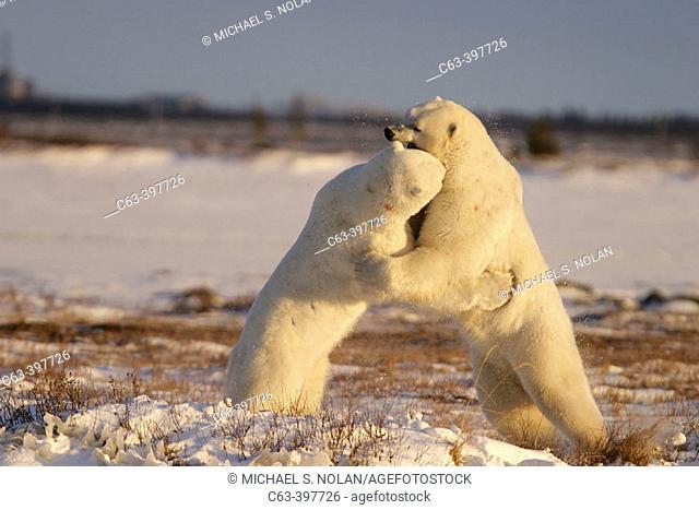 Adult male Polar Bears (Ursus maritimus) in ritualistic fighting behavior (injuries are rare) near Churchill, Manitoba, Canada