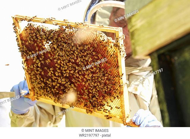 A beekeeper holding up a super frame with worker bees loading the cells in honey