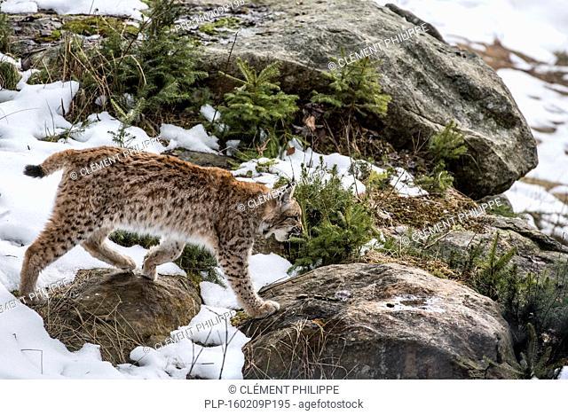 Eurasian lynx (Lynx lynx) hunting in the taiga in the snow in winter / spring
