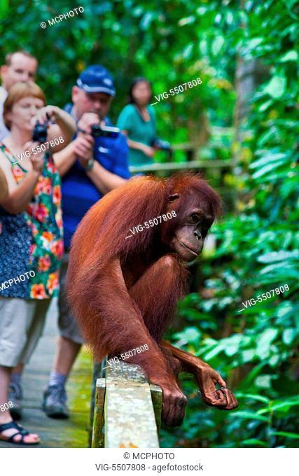 Tourist have a close encounter with a wild orangutan (Pongo pygmaeus) at the Sepilok Orangutan Rehabilitation Center in the Kabili Sepilok Forest near Sandakan...