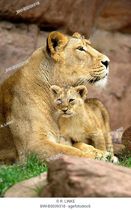 lion (Panthera leo), cub nestling its lying mother