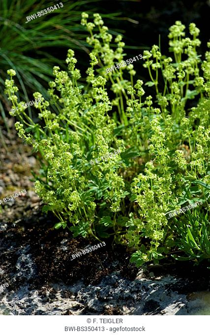 alpine lady's mantle (Alchemilla alpina), blooming, Germany