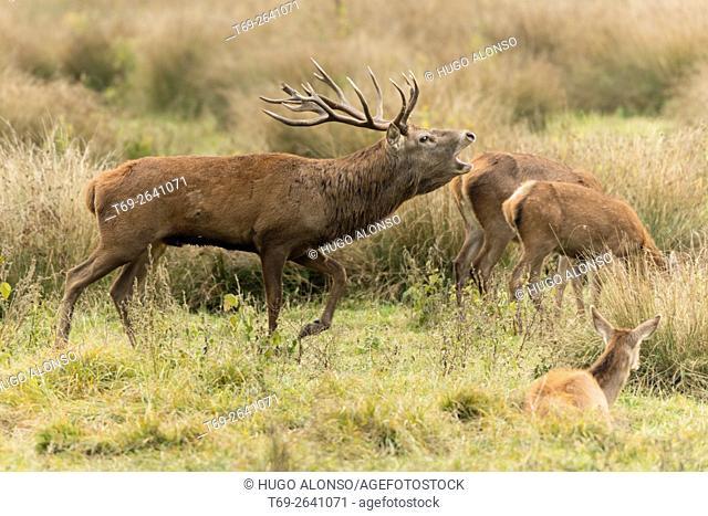 Red deer. Cervus elaphus