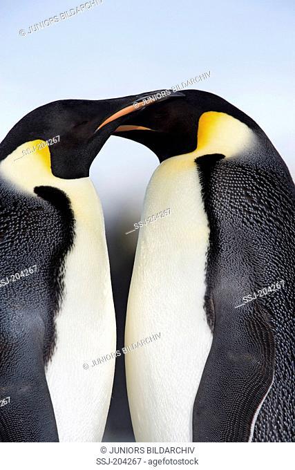 Emperor Penguin (Aptenodytes forsteri). Tender couple. Snow Hill Island, Antarctica