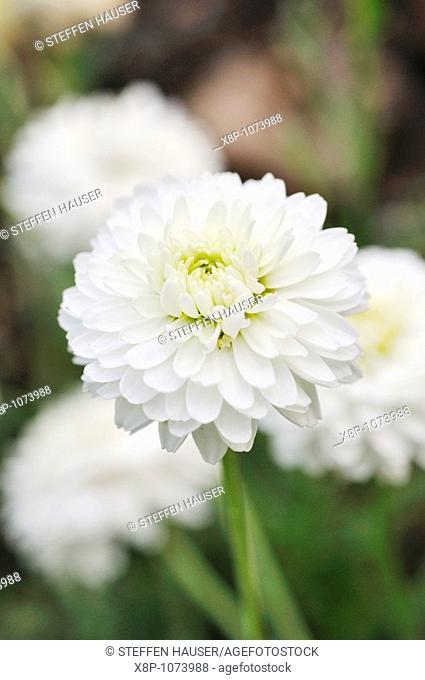 Roman chamomile Chamaemelum nobile 'Plena' syn  Anthemis nobilis