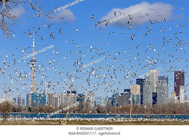 Flock of mating Ring Billed Gulls at Leslie Street Spit nesting