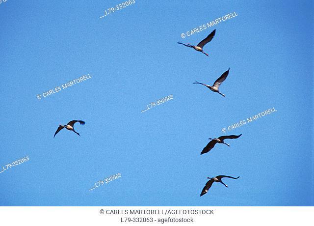 Migrating cranes (Grus grus). Gallocanta. Teruel province. Spain