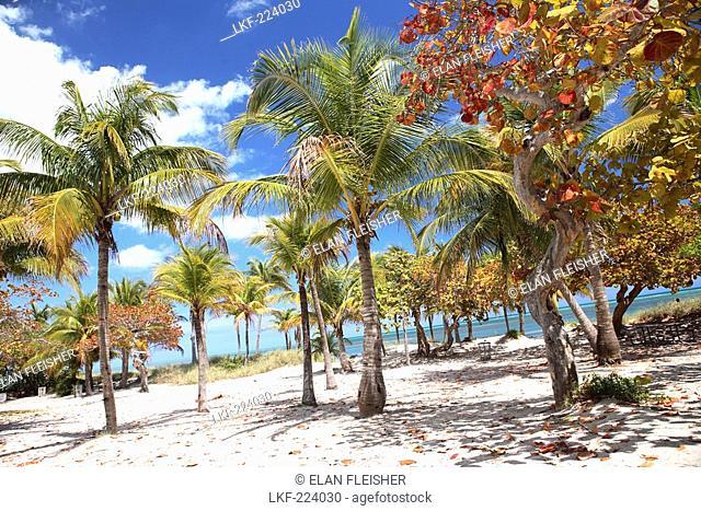 Palm trees at the beach under blue sky, Crandon Park, Key Biscayne, Miami, Florida, USA