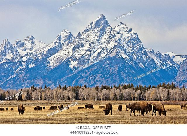 USA, United States, America, Wyoming, Grand Teton, National Park, Buffalos, animals, huge, mountains, park, pasture, river, snow