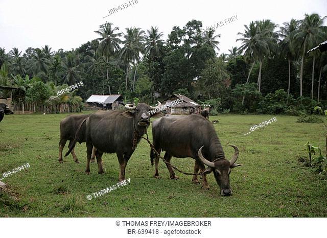 Buffalos on a green in Gampara, Sri Lanka, Asia