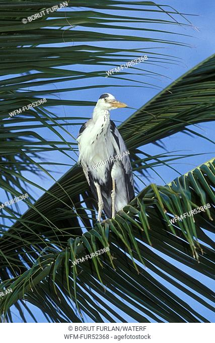 Grey Heron on Palm Tree, Ardea cinerea, Ellaidhoo, Ari Atoll, Maldives