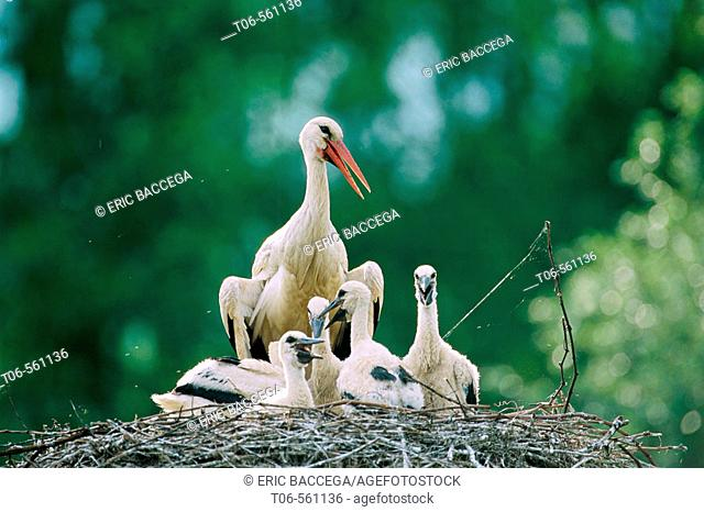 White stork chick and adult at nest (Ciconia ciconia). Alsace. France