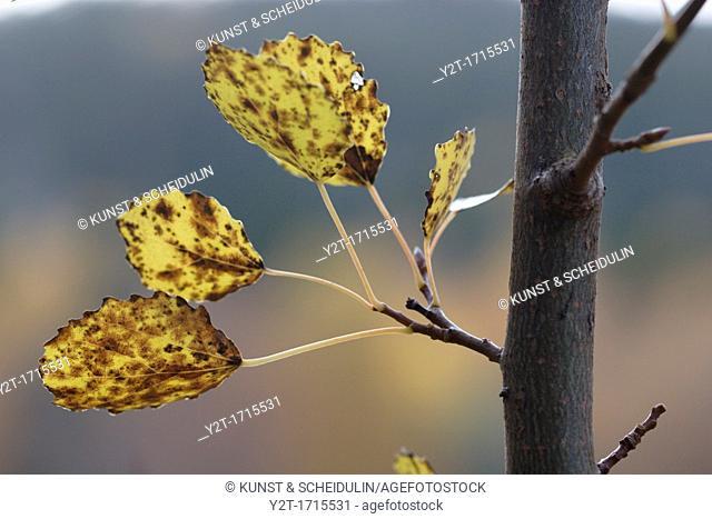 Aspen-leaves Populus tremula in autumn