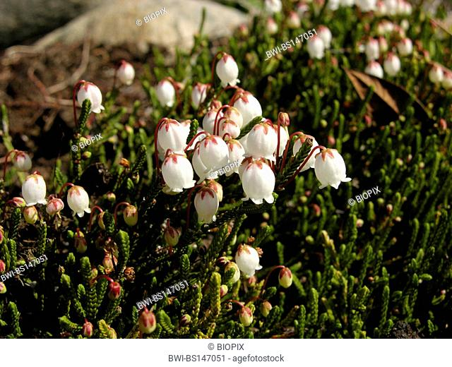 clubmoss mountain-heather (Cassiope lycopodioides), flowering