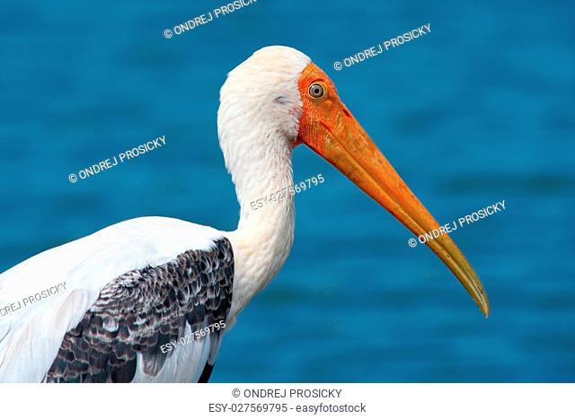 Yellow-billed Stork, Mycteria ibis