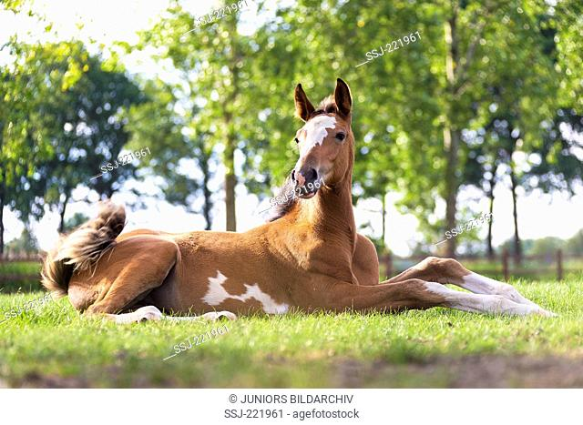 Dutch Warmblood. Bay foal lying on a pasture, intending to stand up. Netherlands