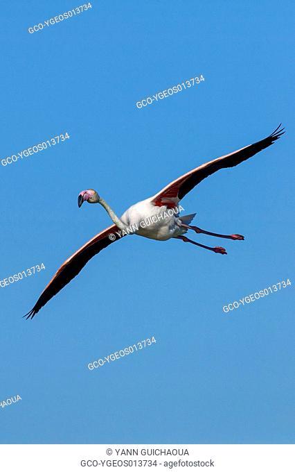 Greater Flamingos, Phoenicopterus roseus, Park Of Pont De Gau, Camargue, France