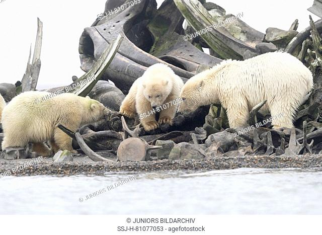 Polar Bear (Ursus maritimus, Thalarctos maritimus). Mother with cubs near by the bones pile, carcass of Bowhead whales hunt by the villagers