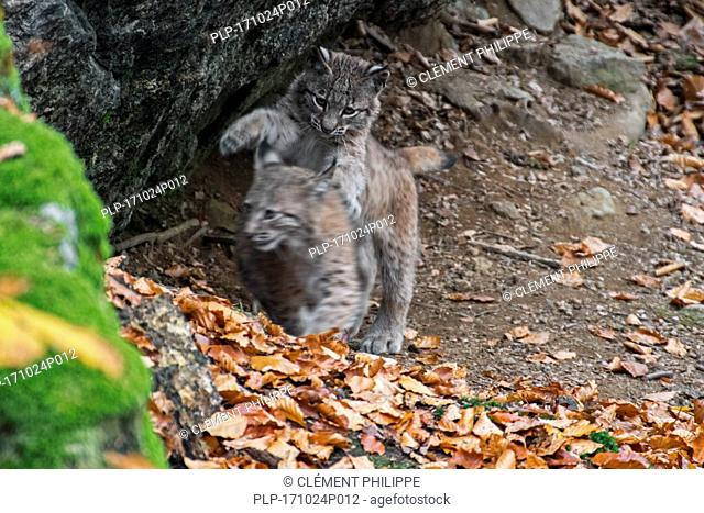 Two 2 month old Eurasian lynx (Lynx lynx) kittens playing / play fighting in autumn forest