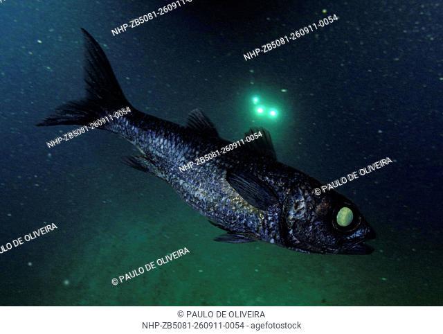 Black cardinal fish , Epigonus telescopus, lateral view. Composite image. Portugal