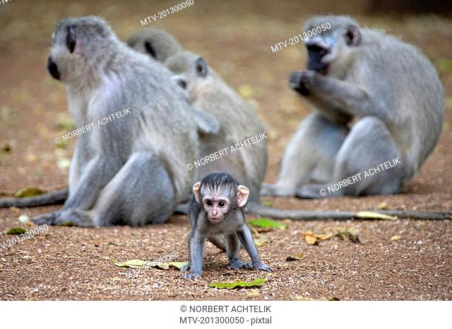 Vervet monkeys (Cercopithecus aethiops) with a baby, South Africa