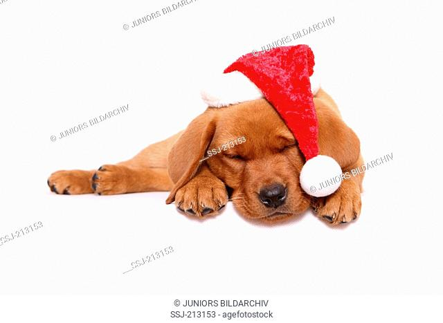 Labrador Retriever. Puppy (8 weeks old) sleeping, wearing Santa Claus hat. Studio picture against a white background. Germany