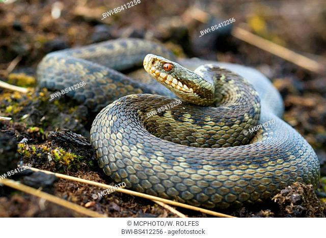 adder, common viper, common European viper, common viper (Vipera berus), rolled-up in moor, Germany, Lower Saxony, Oldenburger Muensterland