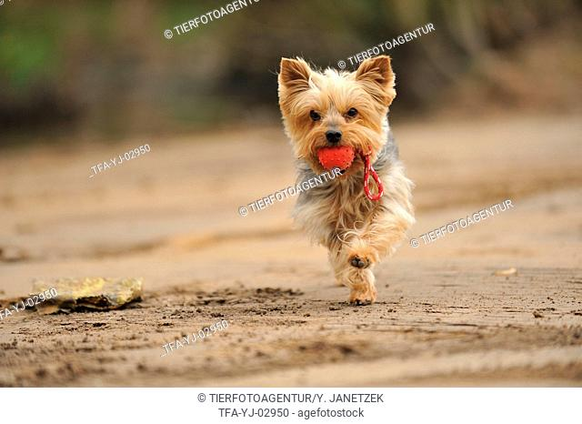 playing Yorkshire Terrier