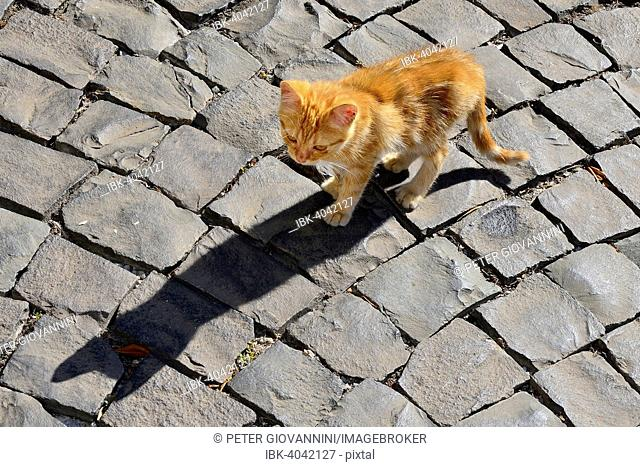 Red tabby kitten, young cat, alley cat, Tuscania, Viterbo, Lazio, Italy