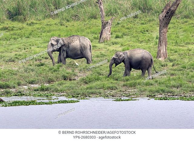 Asian elephant (Elephas maximus), two females standing beside river, endangered species, Kaziranga National Park, Assam, India