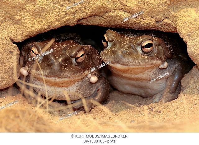 Colorado River Toad, Sonoran Desert Toad (Bufo alvarius)