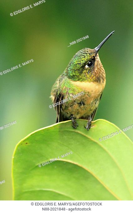 Orange-throtaed Sunangel hummingbird San Eusebio Cloud Forest Merida Venezuela