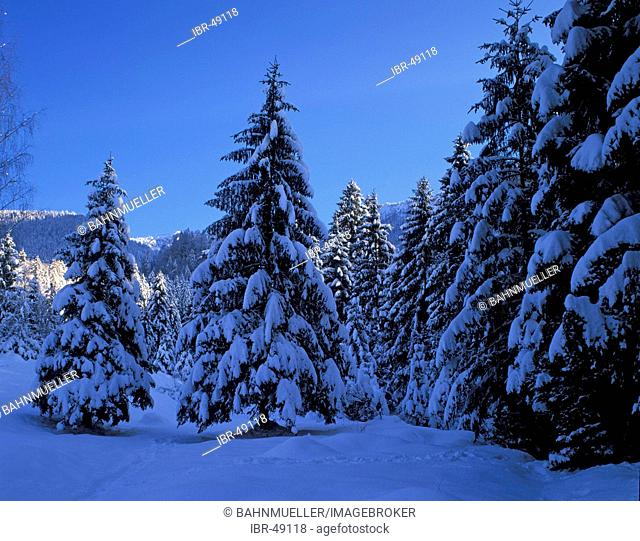 Fir firs spruce spruces in winter time snow