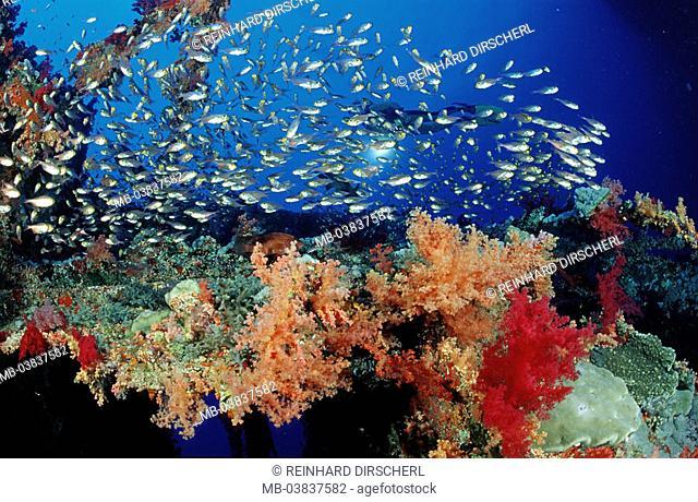 Soft corals, shipwreck Aida,  Corals, fish swarm, divers,  Egypt, red sea