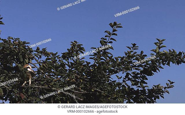Barn Owl tyto alba Taking off from apple tree, Slow motion