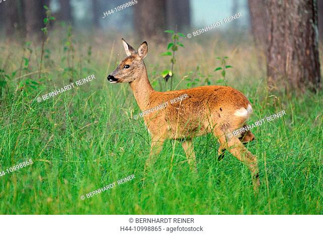 Roe deer in the wood, forest