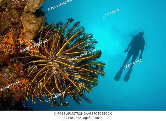 Diver and crinoid (Oxycomantus bennetti) on a coral reef. Ha'apai Group, Tonga. South Pacific Ocean