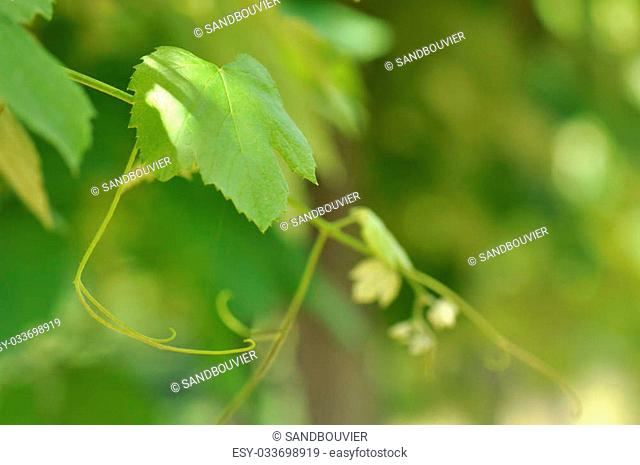 feuille de vigne prise en macro et vrilles sur fond vert