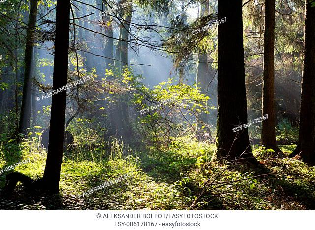 Sunbeam entering rich deciduous stand of Bialowieza Forest, Poland