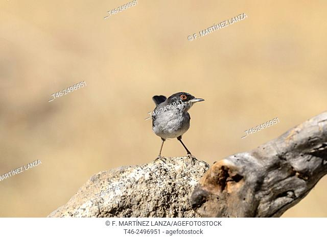 Sardinian Warbler Sylvia melanocephala. Photographed in an oak grove of olive Fresnedilla of Madrid
