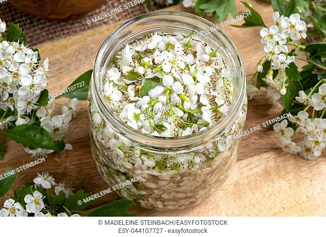 A jar filled with fresh hawthorn flowers and alcohol, to prepare herbal tincture