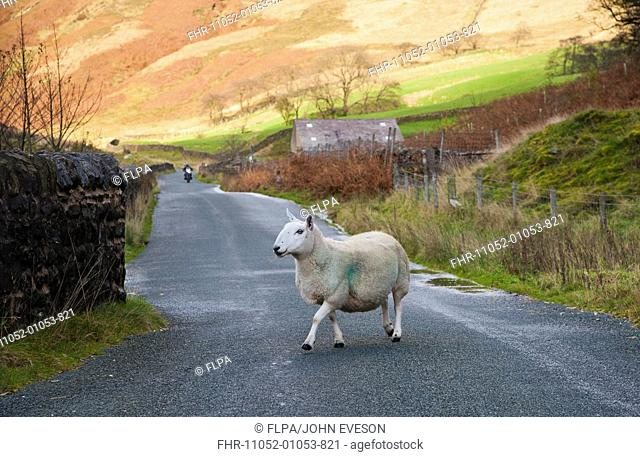 Domestic Sheep, Cheviot ewe, crossing rural road with approaching motorbike, Sykes, Dunsop Bridge, Forest of Bowland, Lancashire, England, november