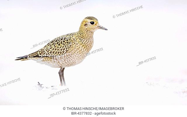 European golden plover (Pluvialis apricaria) plumage, Wadden Sea, UNESCO World Heritage Site, Heligoland, Schleswig-Holstein, Germany