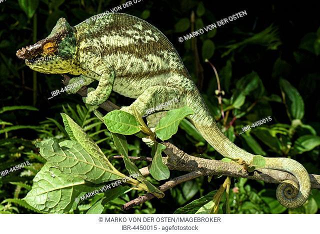 Parson's chameleon (Calumma parsonii parsonii), male, Andasibe National Park, Madagascar