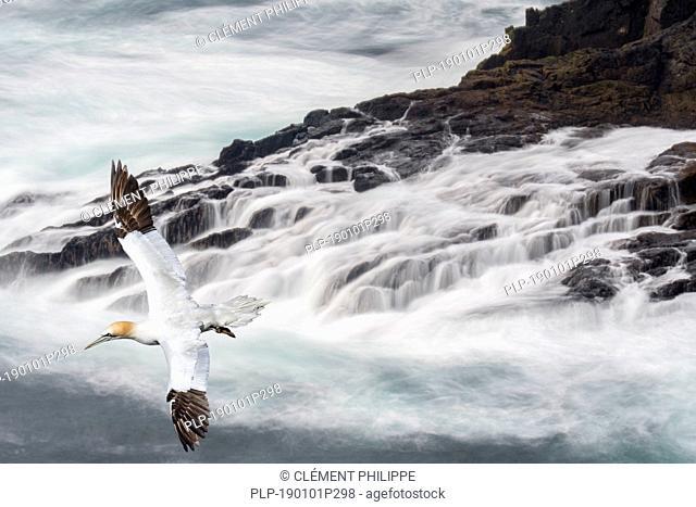 Northern gannet (Morus bassanus) soaring over waves crashing on rocks of sea cliff in spring, Shetland Islands, Scotland, UK